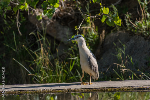 Fotografija  Black-crowned Night Heron with Deformed Leg
