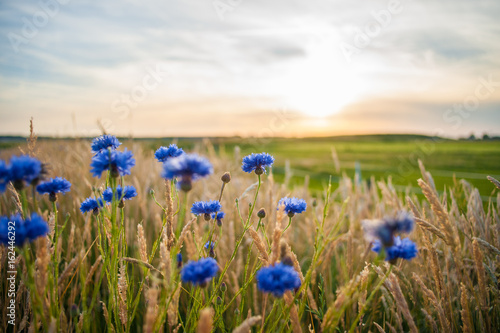 Staande foto Cultuur Blue field flowers in the high grass along the side of the road