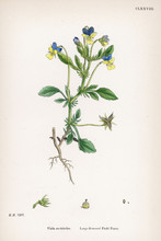Viola Tricolor Or Large Flowered Field Pansy.. Date: 1865