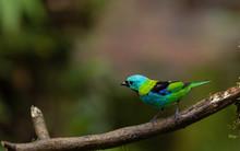 Green Headead Tanager