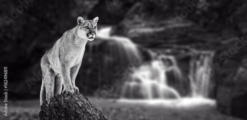 Photo sur Toile Puma Puma at the Falls, mountain lion, puma