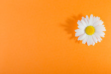 White Daisy Flower On An Orange Background, With A Sharp Shadow