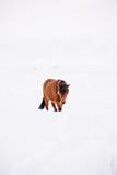 Urocze islandzkie futrzane konie (kucyki) wędrujące w zimowym porannym polu, odkurzone śniegiem - 162500693