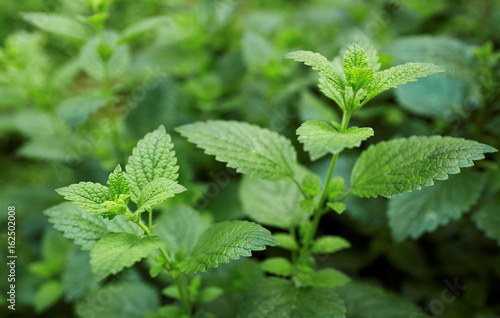 La pose en embrasure Condiment Lemon balm growing in the garden.