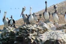 Paracas Pelican Peru