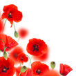 Beautiful poppy background, close-up.
