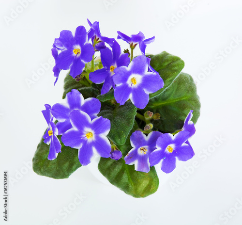 Spoed Foto op Canvas Iris violets in a pot of violets, isolated on white background