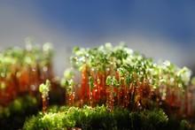 Spore Capsules Of A Green Moss...