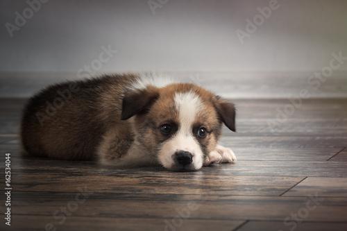 Fotografie, Obraz  Pedigree dog sleeps on an old wooden floor. Puppy 1 month.