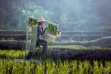 Farmers grow rice in the rainy season. They were soaked with water and mud to be prepared for planting. - 162538808