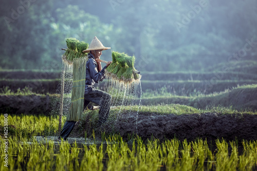 Farmers grow rice in the rainy season Wallpaper Mural