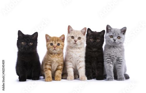 Zdjęcie XXL Rząd pięć Brytyjski Shorthair cat / kittens siedzieć odizolowywam na białym tle