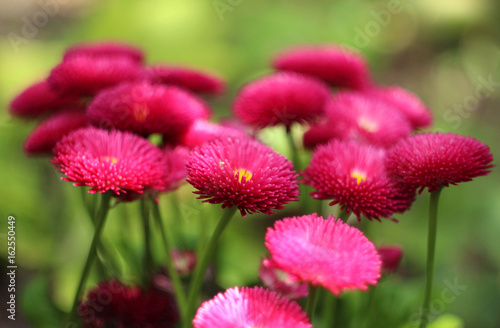 English Daisy Red Flowering Pink Spring Flowers Beautiful