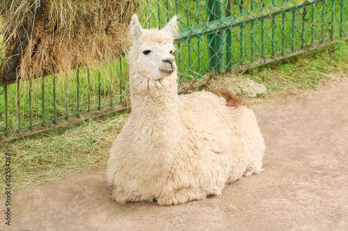 Poster Lama Cute funny lama in zoological garden