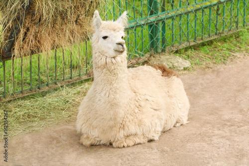 Staande foto Lama Cute funny lama in zoological garden