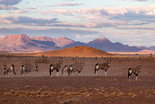 Gemsbok, Oryx Gazella, In The ...