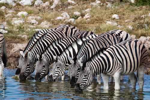 Poster Zebra Zebras at a waterhole in Etosha National Park, Namibia