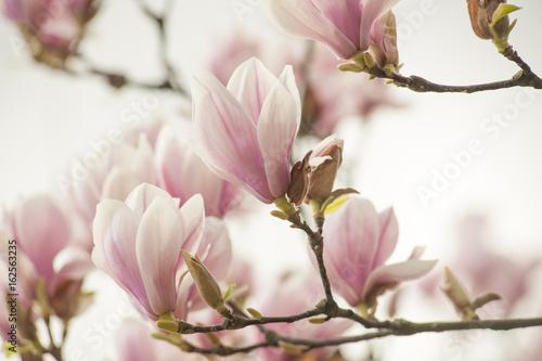 Fotobehang Magnolia magnolia