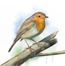 Grassland Birds, Robin