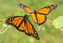 Two Newly Emerged Monarch Butt...
