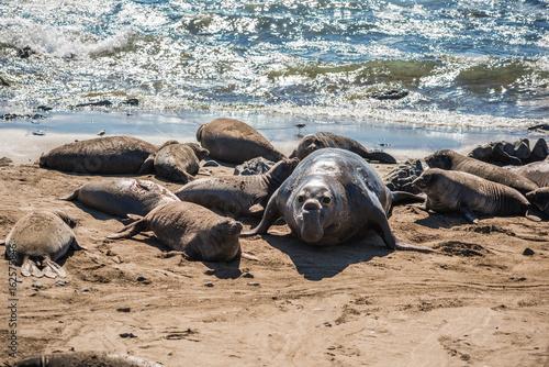 Elephant seal harem with blue alpha male during mating season near San Simeon, C Poster