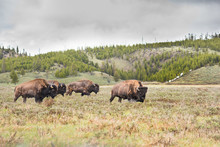 Herd Of Bison Walking In Valle...