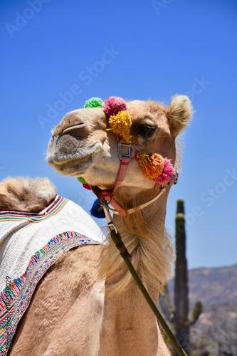 Cabo Camel