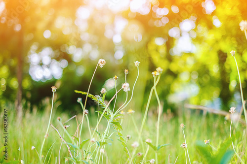 Poster Jaune Grass flower in the green field with the sunlight, selective focus and added color filter