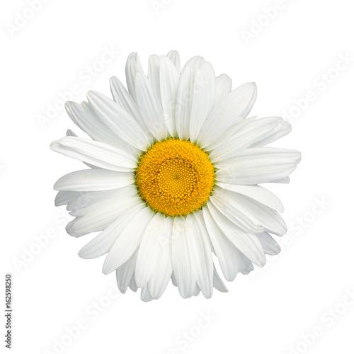 Isolated chamomile flower on white background
