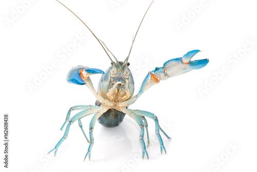 Yabbie Crayfish in fighting position,Blue crayfish cherax destructor