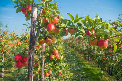 apple orchard before harvesting Fototapeta