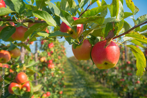 apple orchard before harvesting