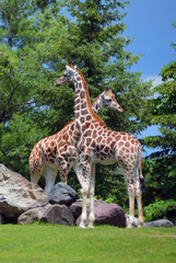 giraffe (Giraffa camelopardalis) is an African even-toed ungulate mammal, the tallest of all extant land-living animal species, and the largest ruminant.