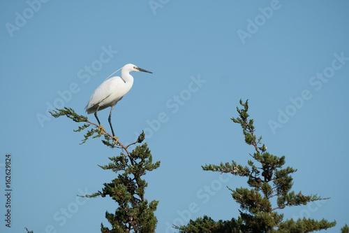 Photo aigrette garzette oiseau échassier
