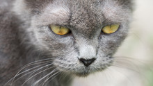 Closeup Of Beautiful Gray Cat Outdoors