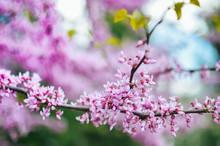 Purple Spring Blossom. Cercis Canadensis Or Eastern Redbud