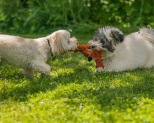 Coton De Tulear Puppies Playing In The Sun On The Grass