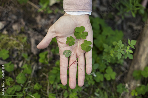 Hand holding wood sorrel picked in the forest