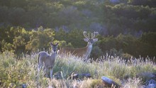 White Tail Buck In Velvet