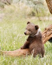 Cute Brown Bear Cub