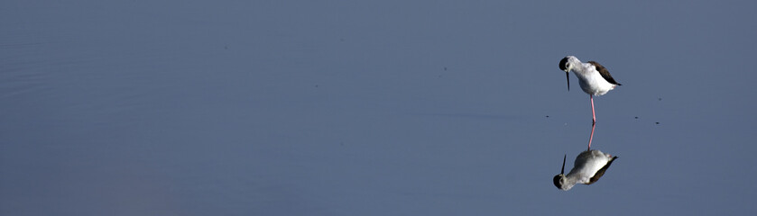 Stelzenläufer (Himantopus himantopus) - Black-winged stilt