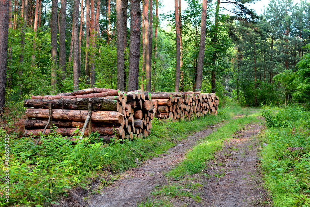 kłody drewna sosnowego w lesie