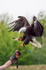 American bald eagle with falconer. Bird of prey at falconry display.