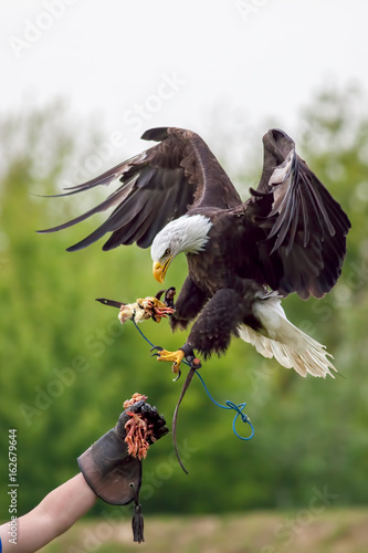 American bald eagle with falconer. Bird of prey at falconry display.