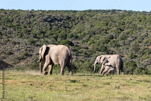 Fotobehang Olifant Family of elephants looking left in South Africa