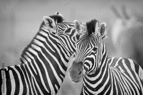 Wall Murals Zebra Zebras being affectionate in South Africa in black and white