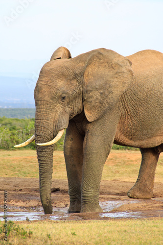Foto op Canvas Large elephant on safari in Africa