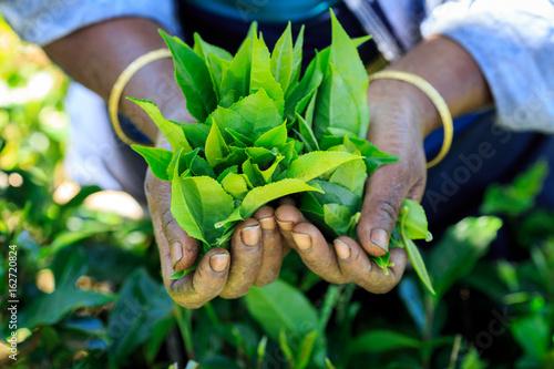 Poster Lieu connus d Asie Hands with tea inside, a tea picker holding some fresh tea
