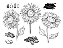 Sunflower Seed And Flower Vector Drawing Set. Hand Drawn Isolated Illustration. Food Ingredient Sketch.