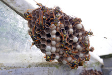 Wasps And Nest